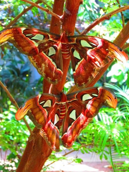 Digital Art - Atlas Moths At Rest by Alec Drake