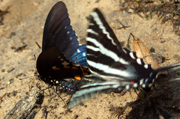 Photograph - Attack Of The Zebra Swallowtail Butterfly by Kim Pate