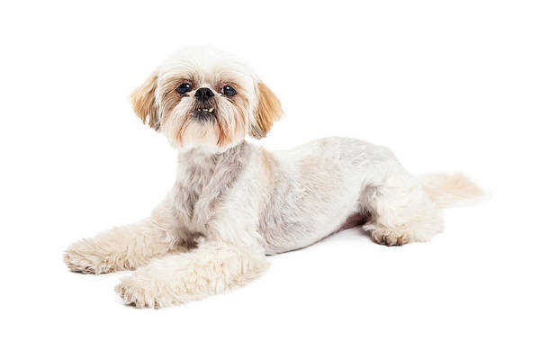 Crossbreed Wall Art - Photograph - Attentive Maltese And Poodle Mix Dog Laying by Susan Schmitz