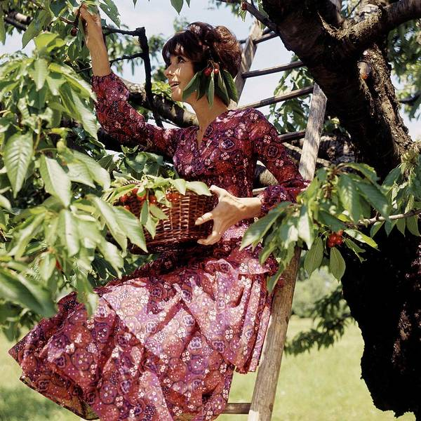 Audrey Hepburn Picking Cherries In Her Orchard Art Print