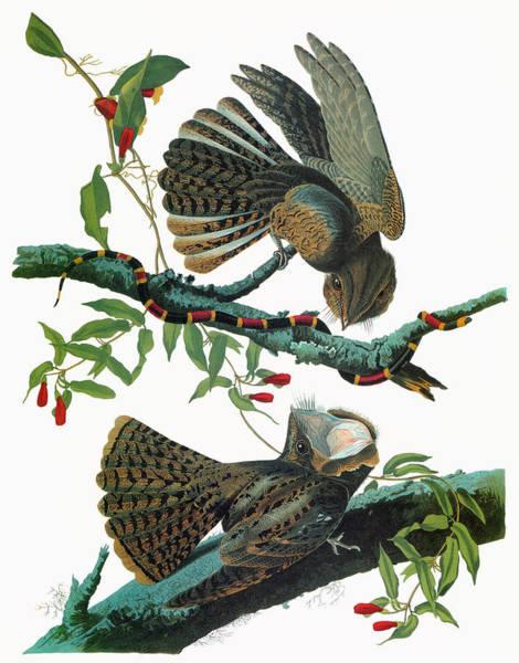 Wall Art - Painting - Audubon Chuck-will's Widow by Granger