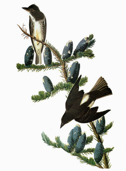 Pine Needles Painting - Audubon Flycatcher by Granger