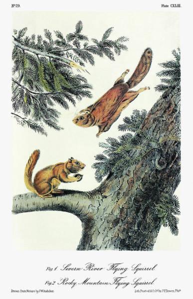 Pine Needles Painting - Audubon Flying Squirrel by Granger