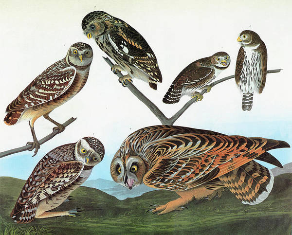 Burrowing Owl Painting - Audubon Owls by Granger