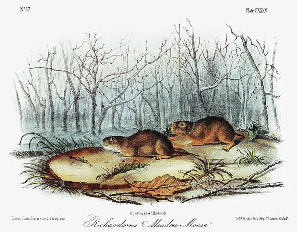 Wall Art - Painting - Audubon Voles by Granger