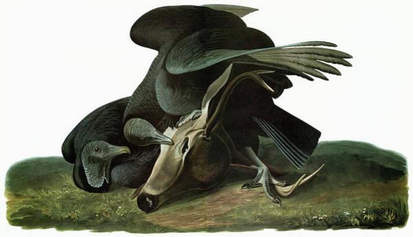 Black Buck Painting - Audubon Vulture by Granger