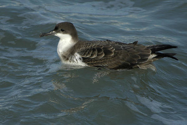 Photograph - Audubon's Shearwater by Bradford Martin