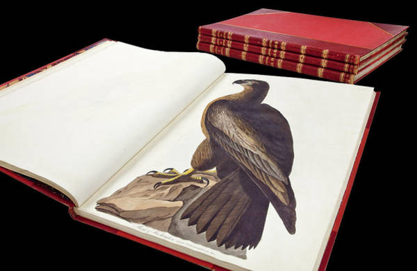 Haliaeetus Leucocephalus Photograph - Audubon's The Birds Of America by Natural History Museum, London