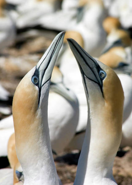Courtship Display Photograph - Australasian Gannets by David Taylor/science Photo Library