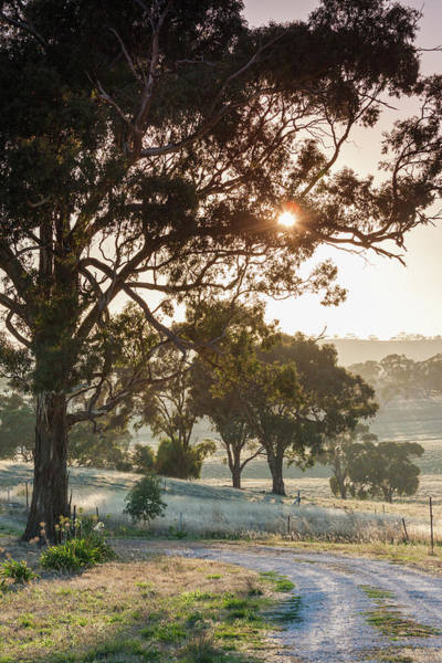 Clare Photograph - Australia, Clare Valley, Clare, Gum by Walter Bibikow