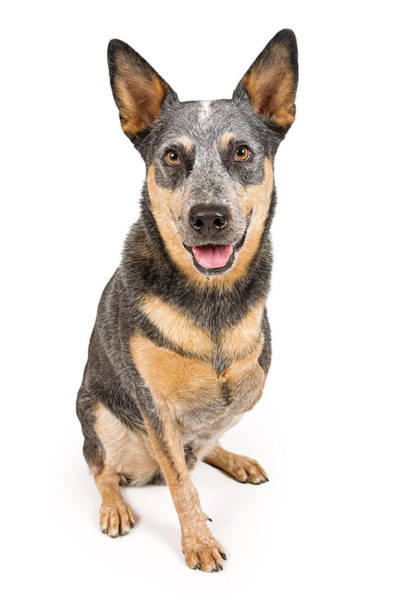 Herding Dog Wall Art - Photograph - Australian Cattle Dog With Missing Leg Isolated On White by Susan Schmitz