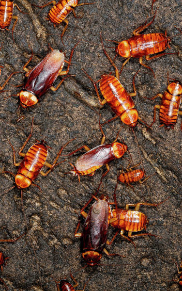 Australian Fauna Wall Art - Photograph - Australian Cockroaches by Sinclair Stammers/science Photo Library