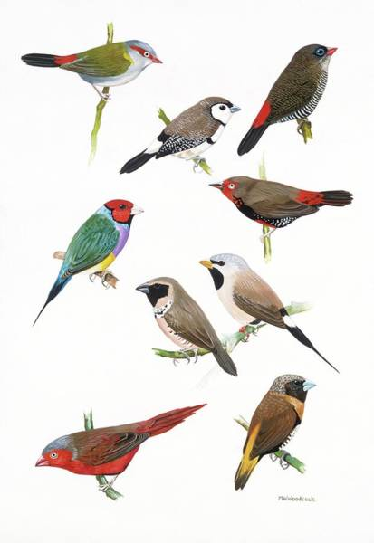 Woodcock Photograph - Australian Estrildid Finches by Natural History Museum, London/science Photo Library