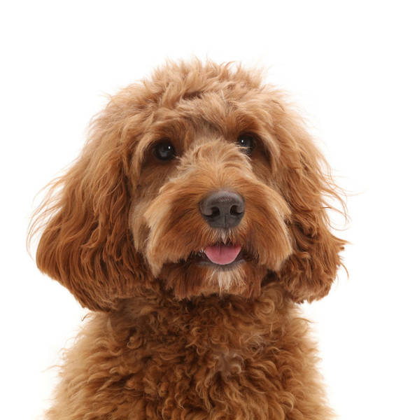 Wall Art - Photograph - Australian Labradoodle by Mark Taylor