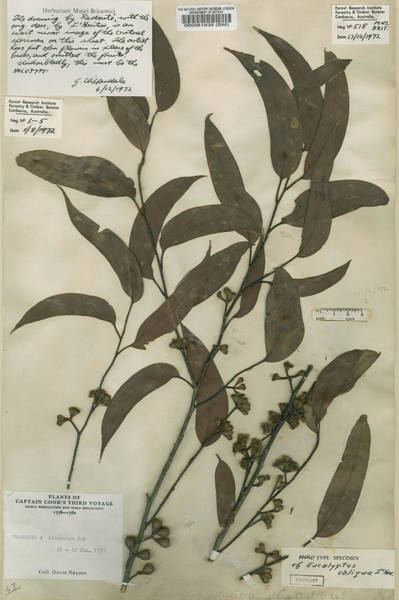 Wall Art - Photograph - Australian Oak (eucalyptus Obliqua) by Natural History Museum, London/science Photo Library