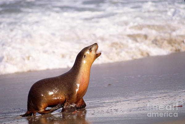 Photograph - Australian Sea Lion by Gregory G. Dimijian