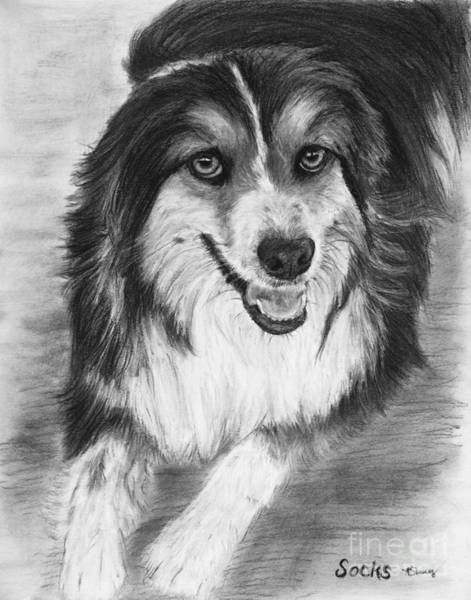 Drawing - Australian Shepherd Dog Sketch by Kate Sumners