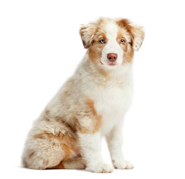 Puppy Photograph - Australian Shepherd Puppy Sitting by Life On White