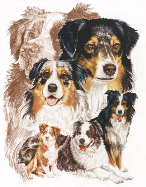 Wall Art - Drawing - Australian Shepherd Revamp by Barbara Keith