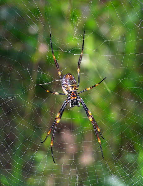 Photograph - Australian Spider by Dreamland Media