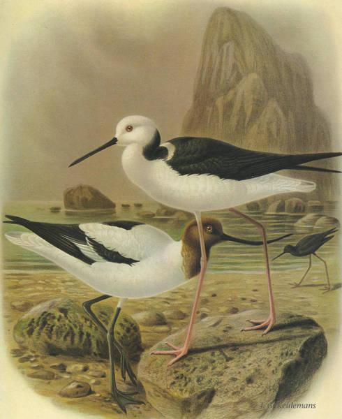 Australian Wildlife Wall Art - Painting - Australilan Avocet Pied Stilt And Black Stilt by Dreyer Wildlife Print Collections