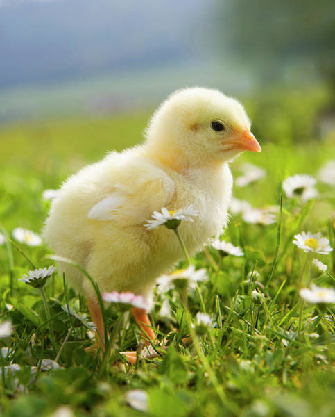 Photograph - Austria, Baby Chicken In Meadow, Close by Westend61