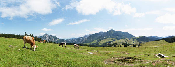 Grazing Photograph - Austria, Cow Grazing On Alp Pasture At by Westend61