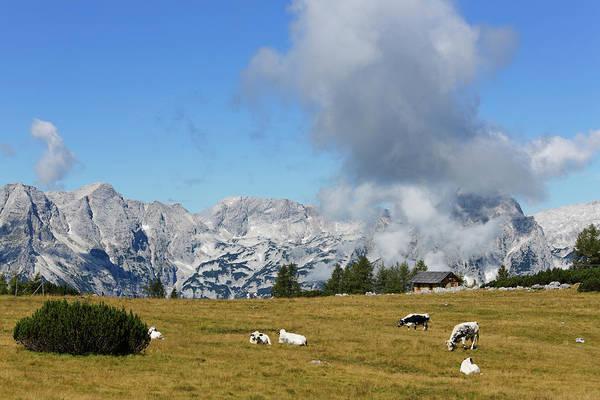 Grazing Photograph - Austria, Upper Austria, Cows Grazing by Westend61