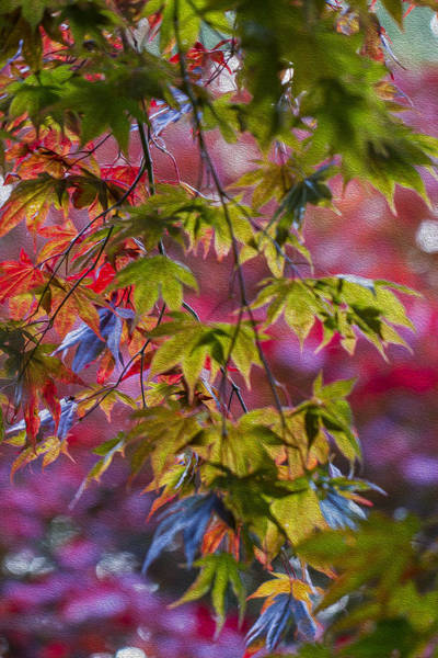 Photograph - Autumn Acer. by Clare Bambers