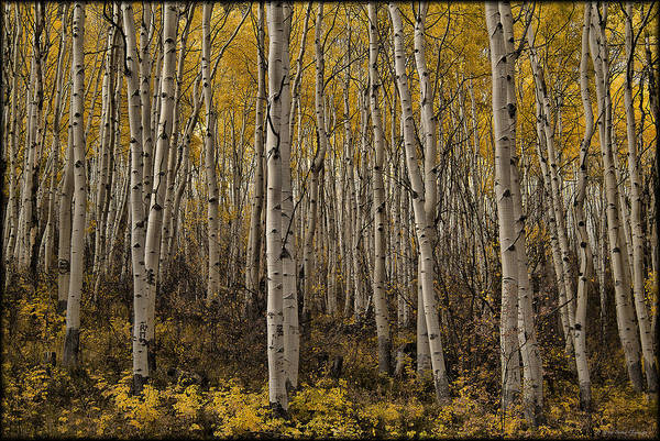 Photograph - Autumn Aspen by Erika Fawcett