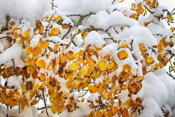 Photograph - Autumn Aspen Leaves In The Snow by James BO Insogna