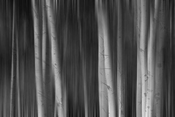 Photograph - Autumn Aspen Trees Dreaming Bw by James BO Insogna