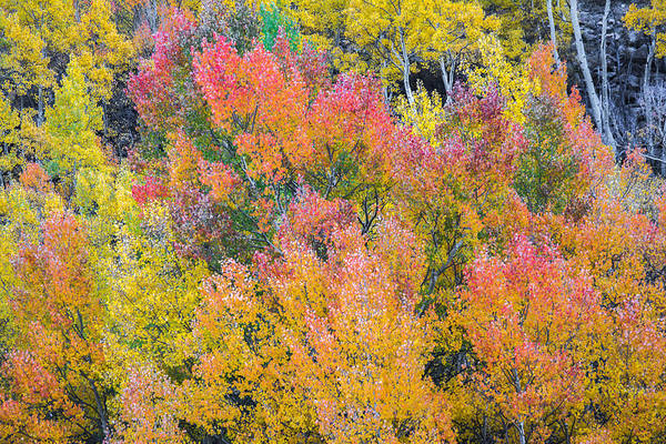 Photograph - Autumn Aspens by Colleen Coccia