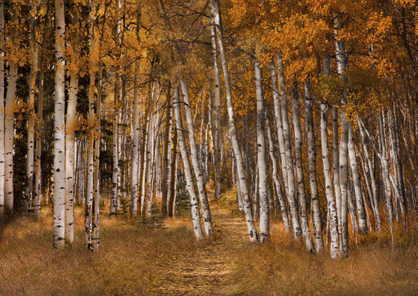 Photograph - Autumn Aspens by David Brookwell