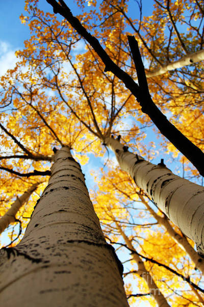 Art Print featuring the photograph Autumn Aspens by Kate Avery