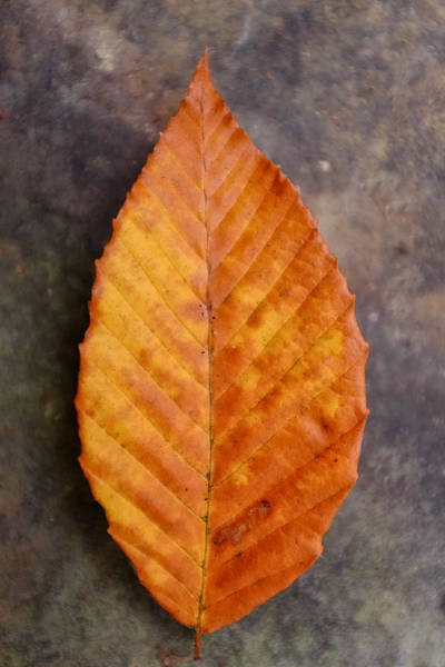 Photograph - Autumn Beech Leaf On Stone Three by Chris Bordeleau
