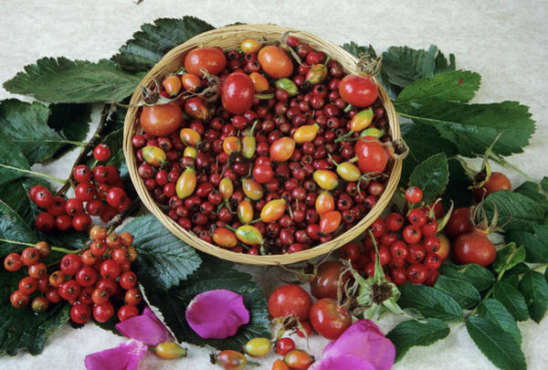 Rose Bowl Photograph - Autumn Berries by Ann Pickford/science Photo Library