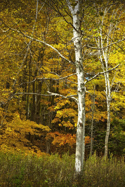 Manistee National Forest Wall Art - Photograph - Autumn Birch Tree In The Manistee National Forest by Randall Nyhof