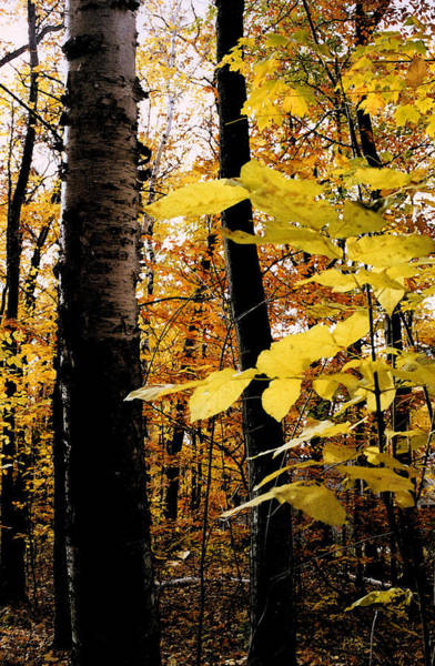 Photograph - Autumn Birch Trees by Michelle Calkins