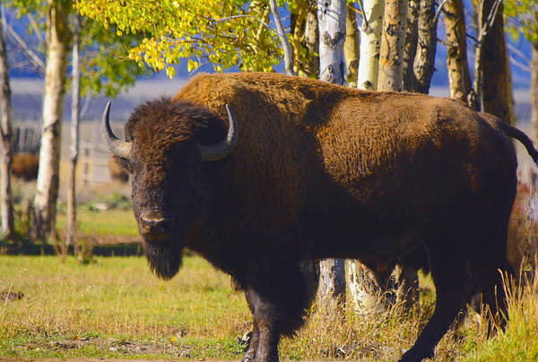 Photograph - Autumn Bison by Craig Ratcliffe