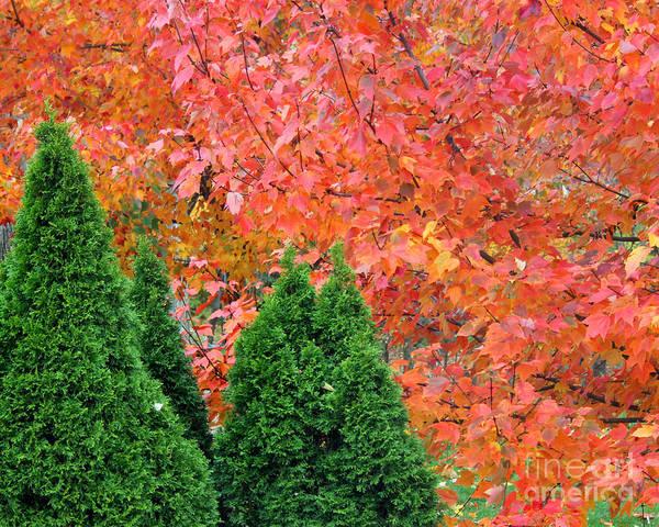 Photograph - Autumn Blazing Maple Trees by Karen Adams