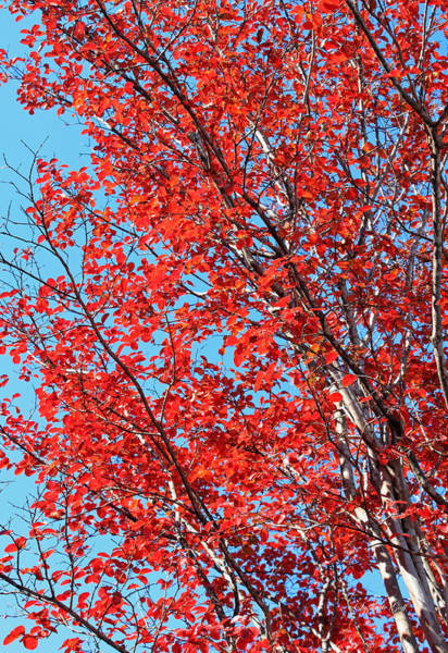 Seasonal Wall Art - Photograph - Autumn Brilliance Iv by Suzanne Gaff