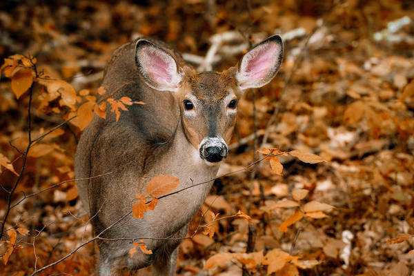 Photograph - Autumn Buck by Tracy Munson