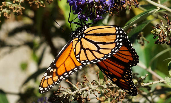 Autumn Butterfly Art Print