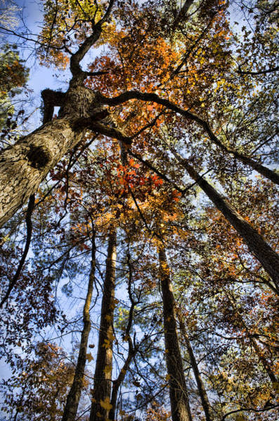 Photograph - Autumn Canopy by Heather Applegate