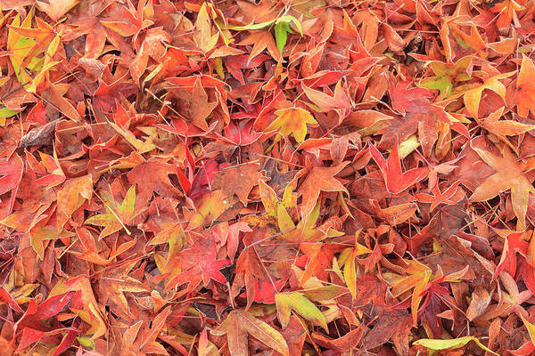 Frosty Photograph - Autumn Color, Maple Leaves, Morning by Stuart Westmorland