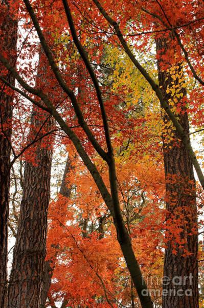 Photograph - Autumn Color Revival by Carol Groenen