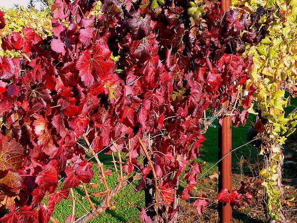 Photograph - Autumn Colored Vineyard Leaves And Vines by Jeff Lowe