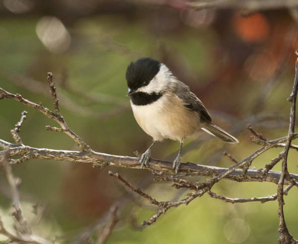Autumn Colors Chickadee Art Print
