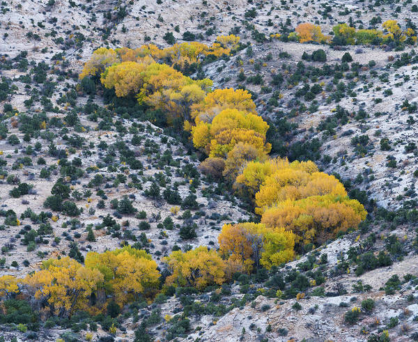 Grand Staircase National Monument Photograph - Autumn Cottonwoods At The Boulder by Panoramic Images